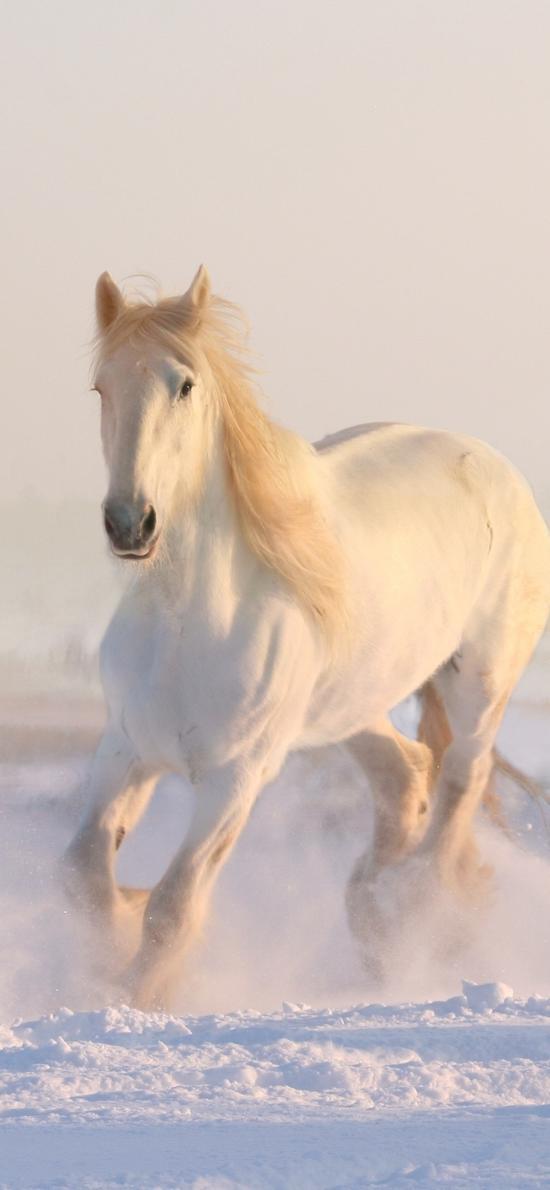 白马 奔跑 雪地 驹
