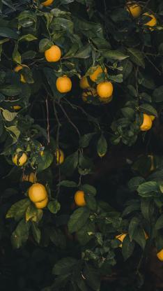 柠檬 树木 果实 枝叶 果树