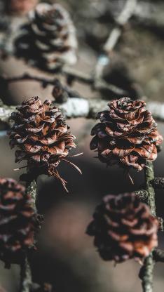果实 松果 树枝 松塔