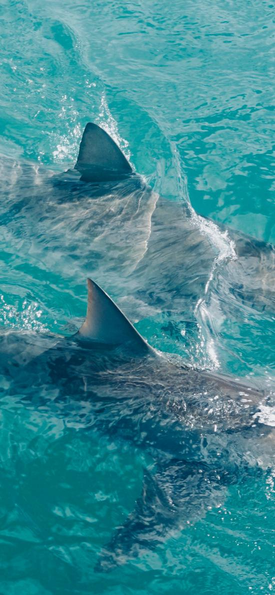鲨鱼 大海 鱼翅  海洋