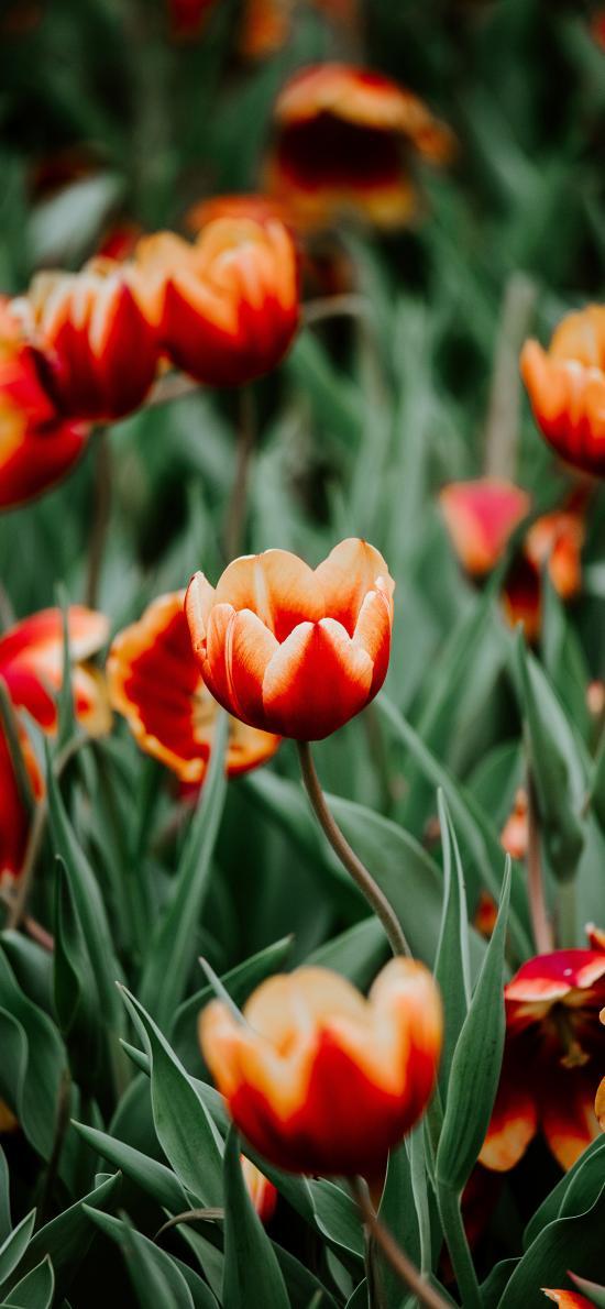 鲜花 花丛 郁金香 盛开