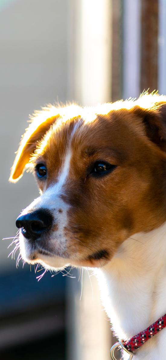狗 宠物 项圈 可爱