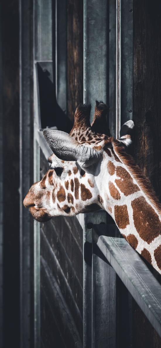 长颈鹿 豢养 动物园 斑纹