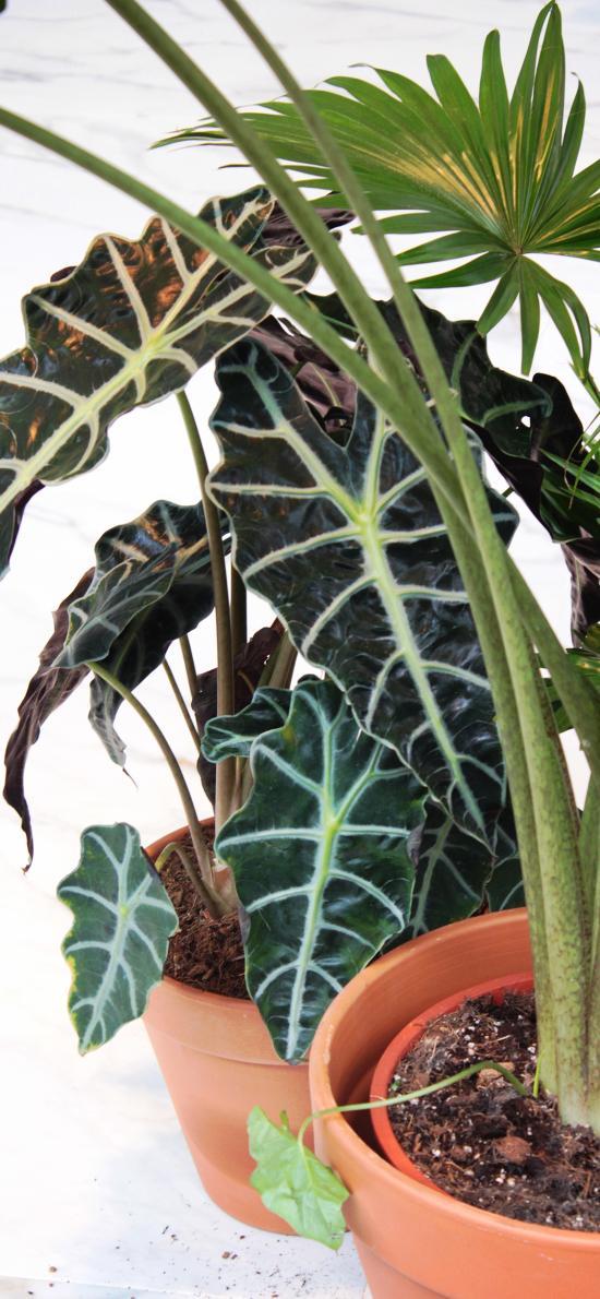 盆栽 绿植 黑叶观音莲