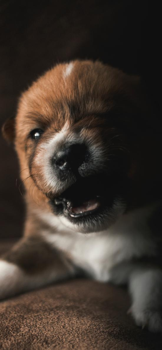 小狗 奶凶 幼仔 小奶狗