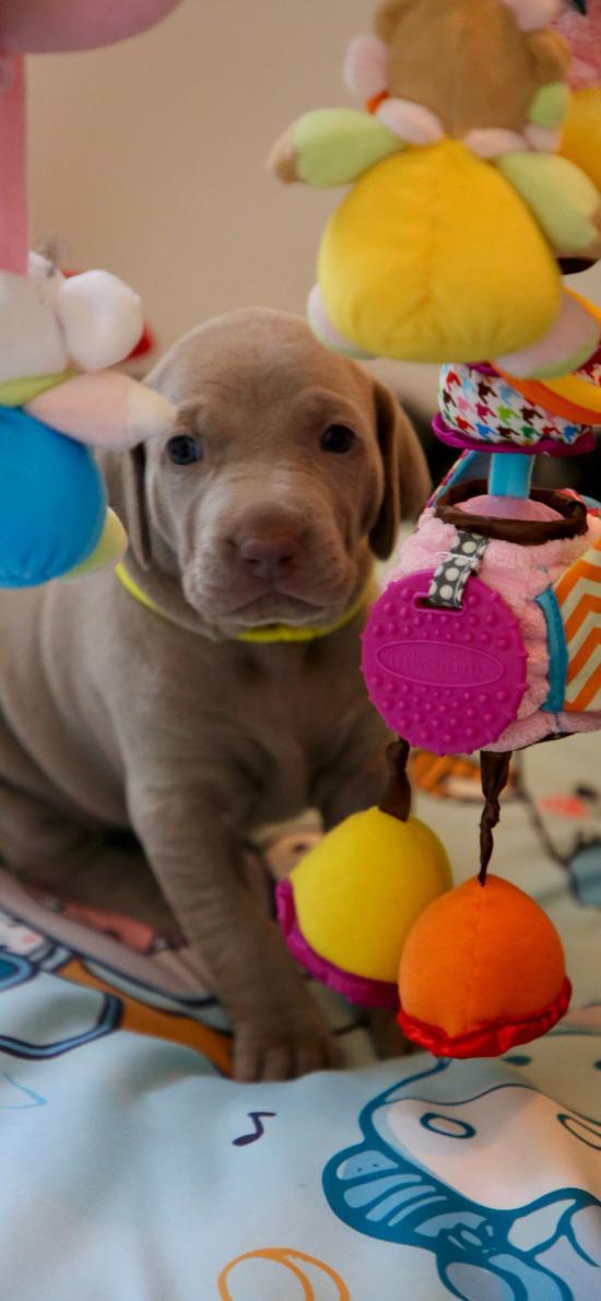 小狗 宠物 玩具 可爱 奶狗 魏玛犬