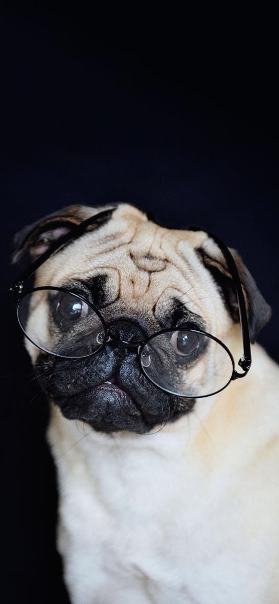 宠物狗 巴哥犬 眼镜 呆萌
