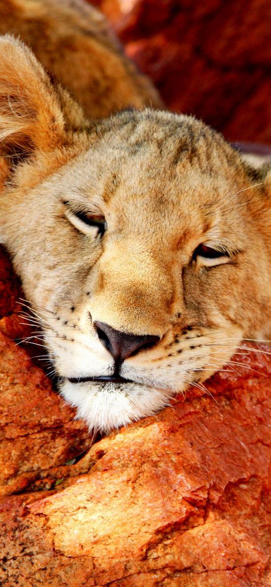 母狮 狮子 休憩 凶猛