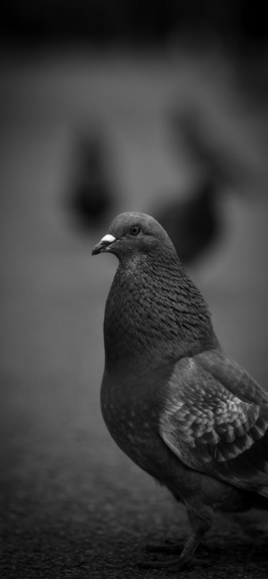 鸽子 飞鸟  黑白 飞鸟