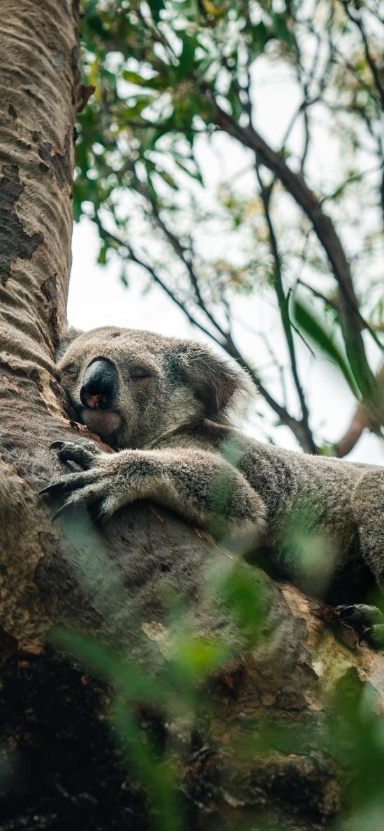考拉 树干 树袋熊 懒惰