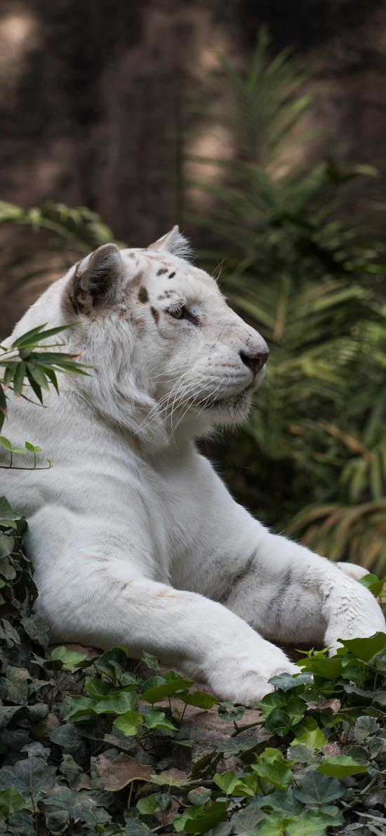 草丛 老虎 东北虎 白色