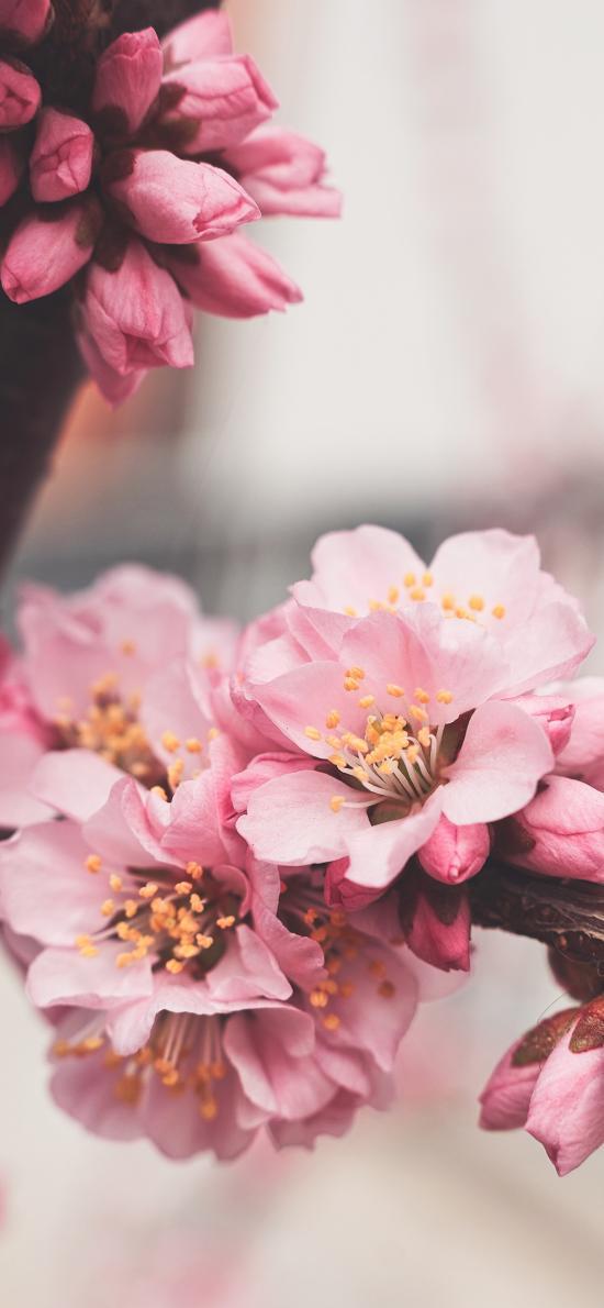 树枝 鲜花 粉色 盛开