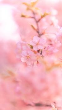 樱花 鲜花 枝头 粉色 盛开