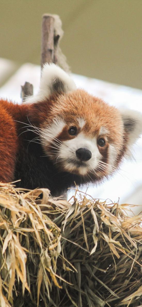 小熊猫 皮毛 可爱 攀爬