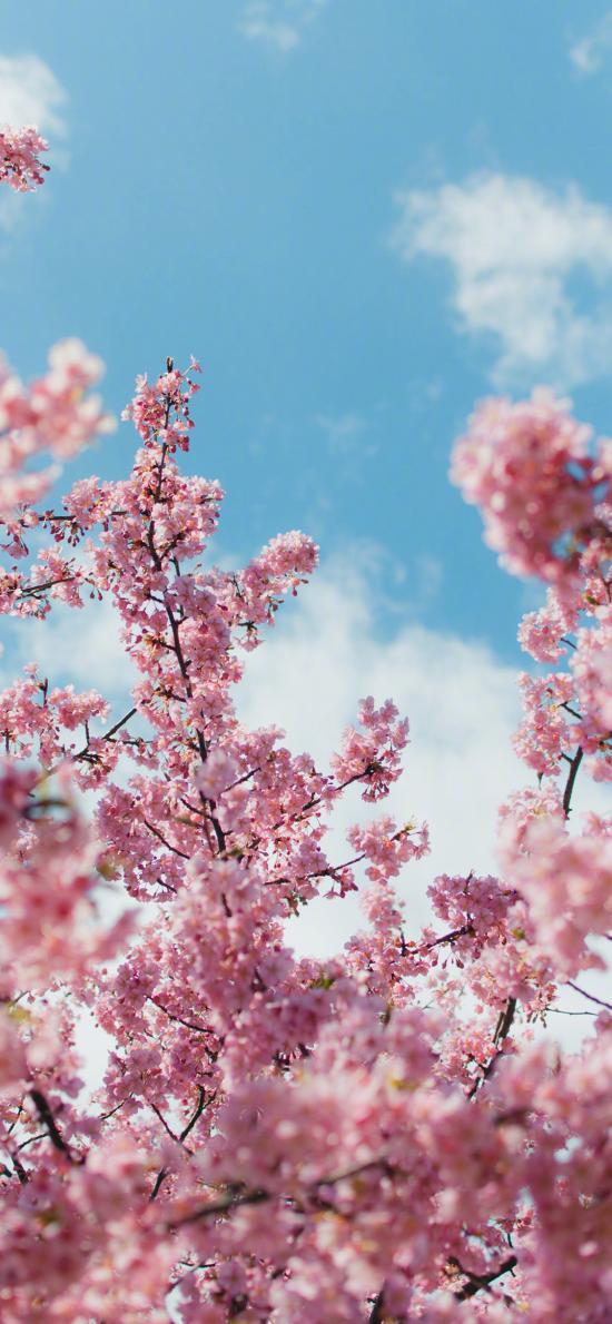 樱花 鲜花 枝头 盛开 春天