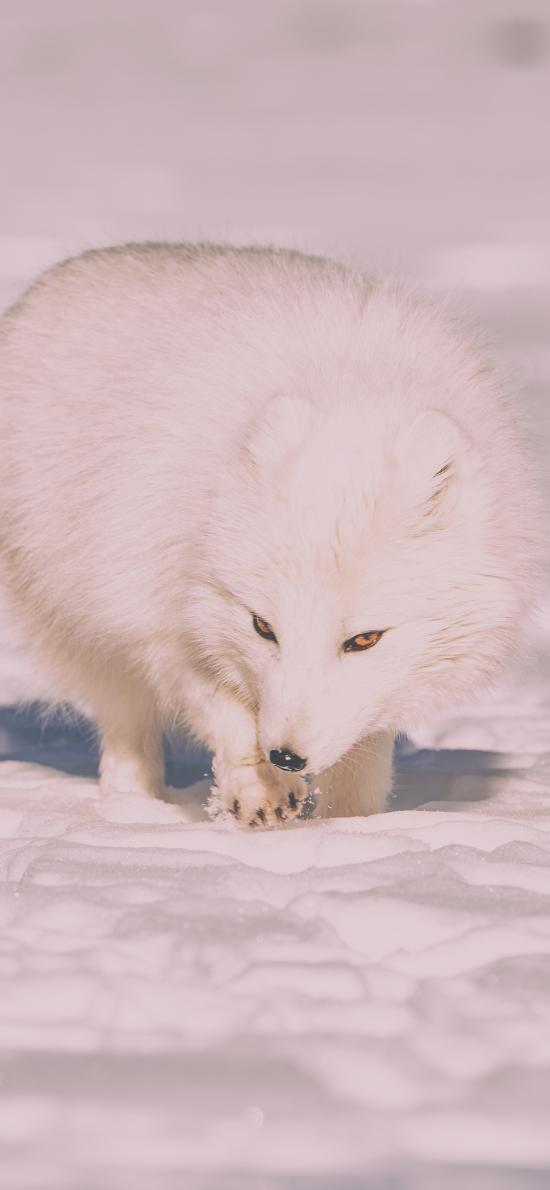 雪狐 白狐 狐狸 雪地 白色