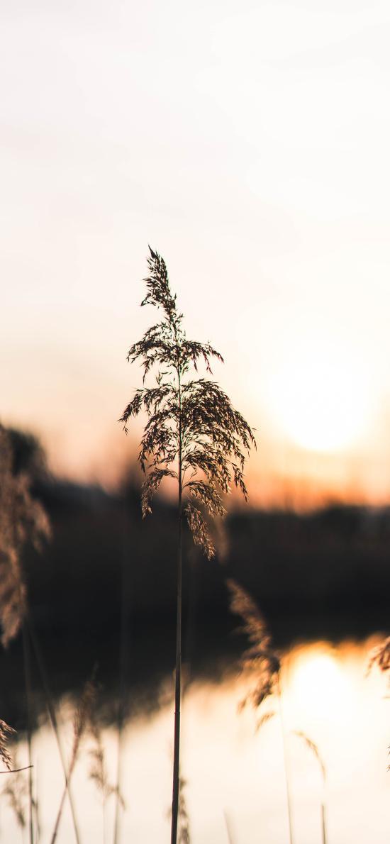 草丛 芦苇 落日