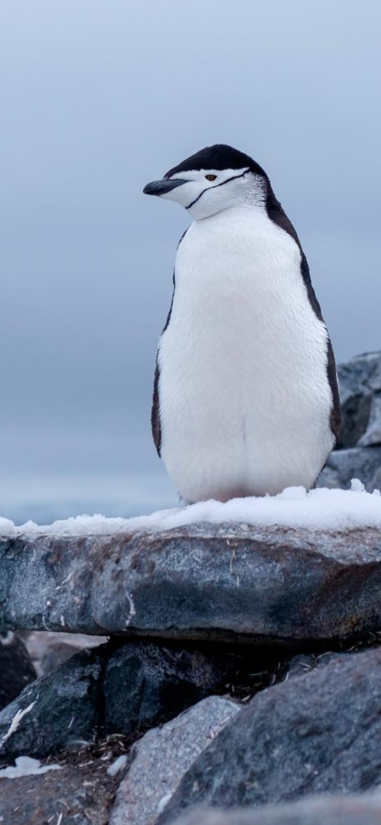 企鹅 岩石 雪地 仰望 禽类