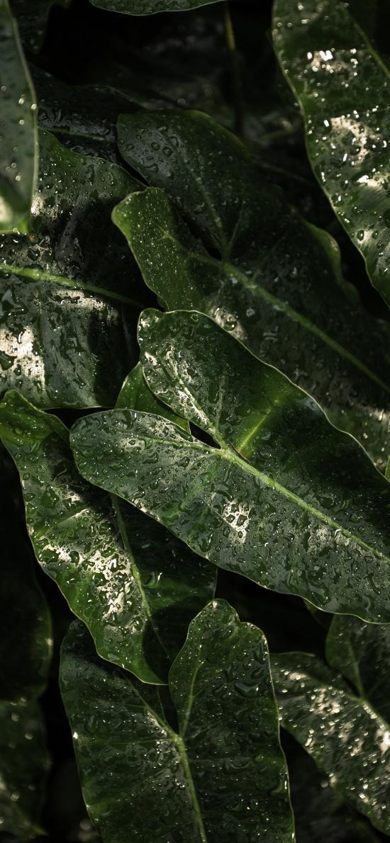 绿植 暗绿 水珠 绿叶