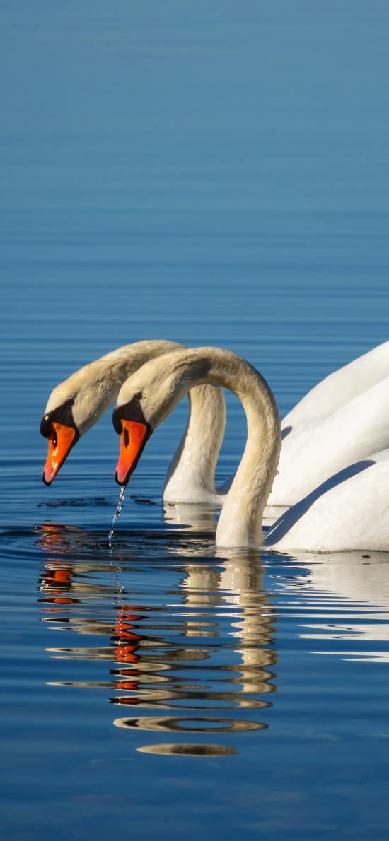 天鹅 湖水 翅膀 羽毛 蓝色 倒影