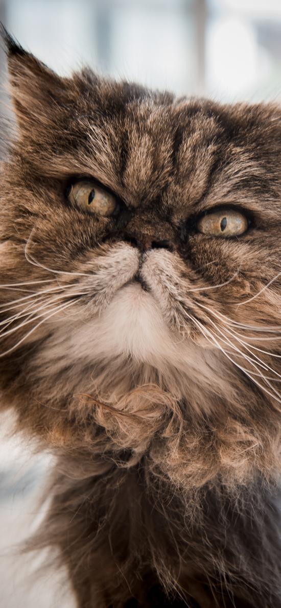 猫咪 皮毛 蓬松 宠物 加菲猫