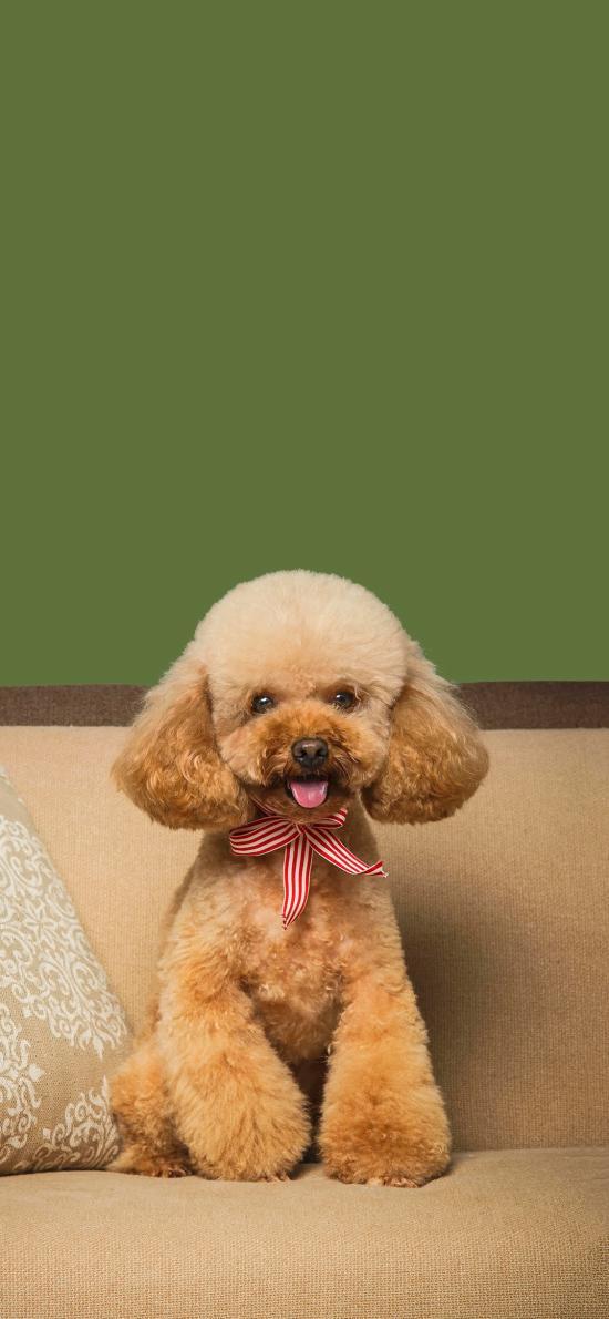 泰迪 狗 犬 汪星人 宠物 可爱