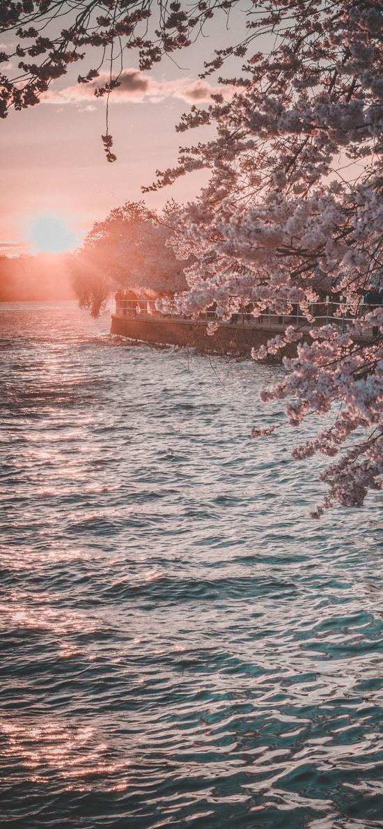 郊外 河流 樱花 落日 唯美 浪漫