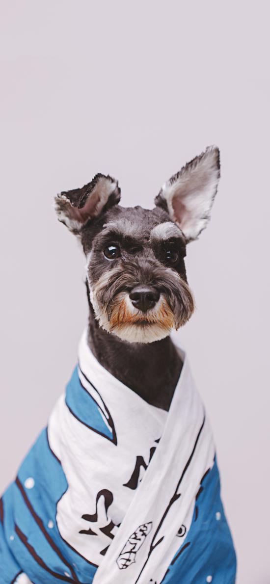 宠物狗 雪纳瑞 写真 可爱