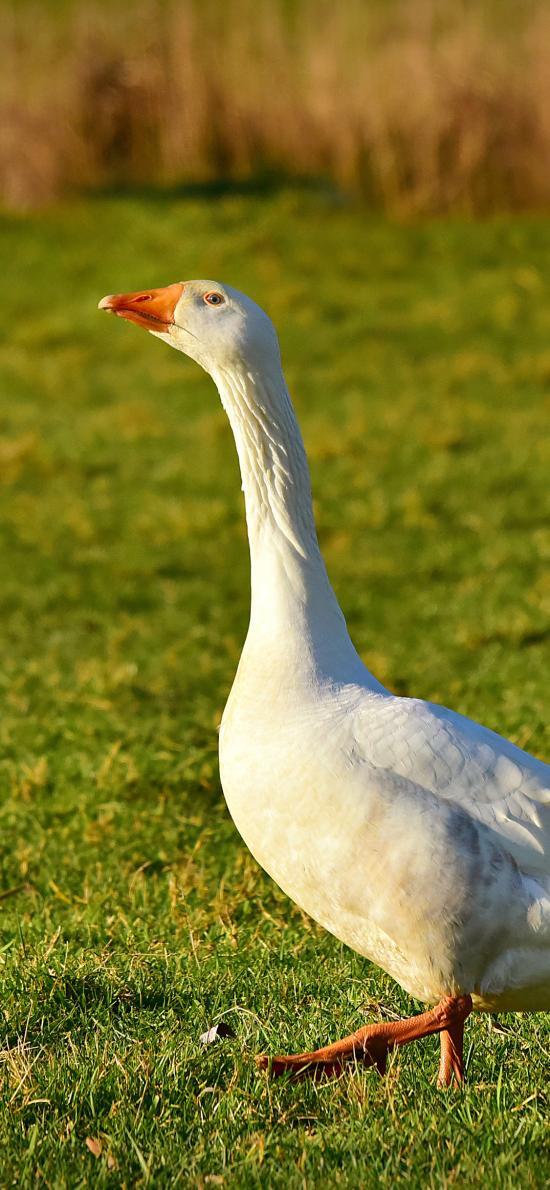 鹅 家禽 草坪 户外 羽毛