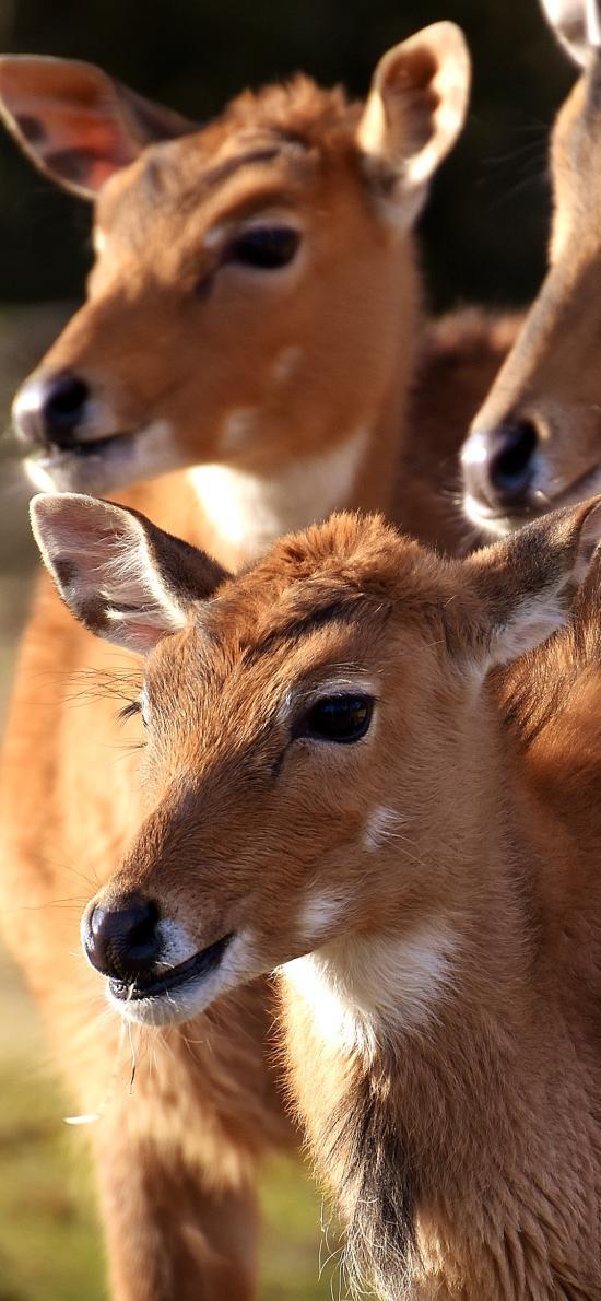 鹿 种群 野生 物种