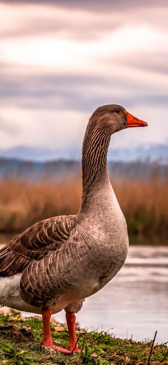 野鹅 禽类 湖边 翅膀