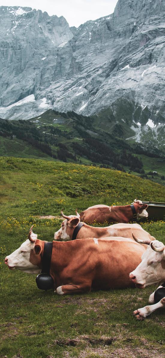 草地 草原 牲畜 放牧 牛
