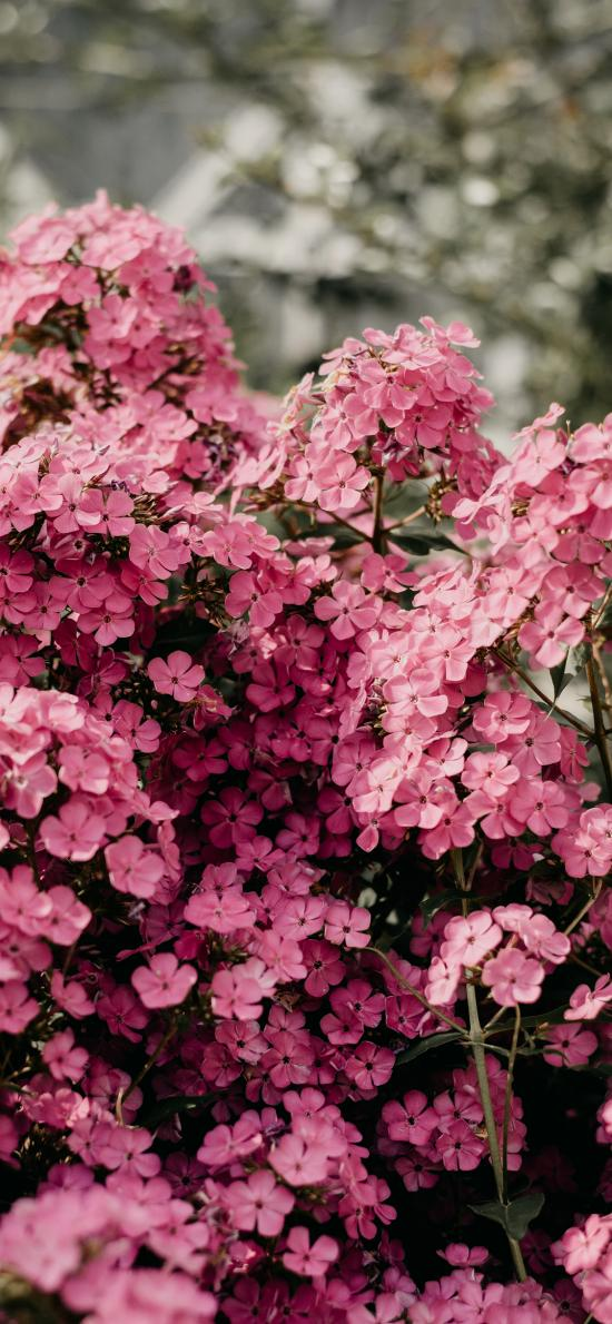 鲜花 粉色 枝头 盛开 花簇