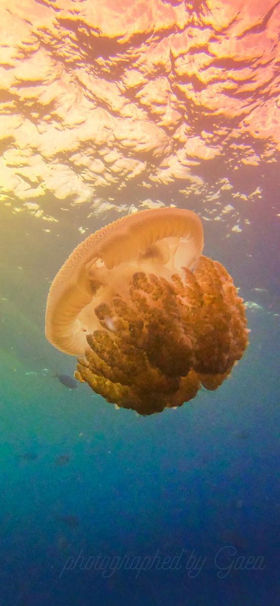 水母 海洋 浮游 色彩