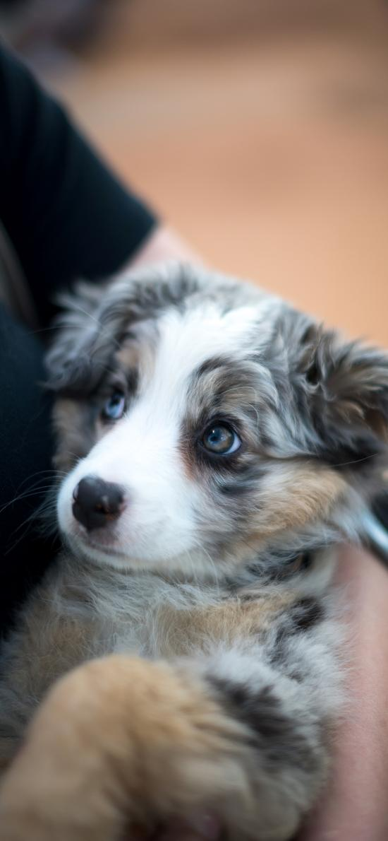 宠物 怀抱 小狗 犬类 花色