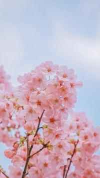 樱花 鲜花 粉色 盛开 枝头