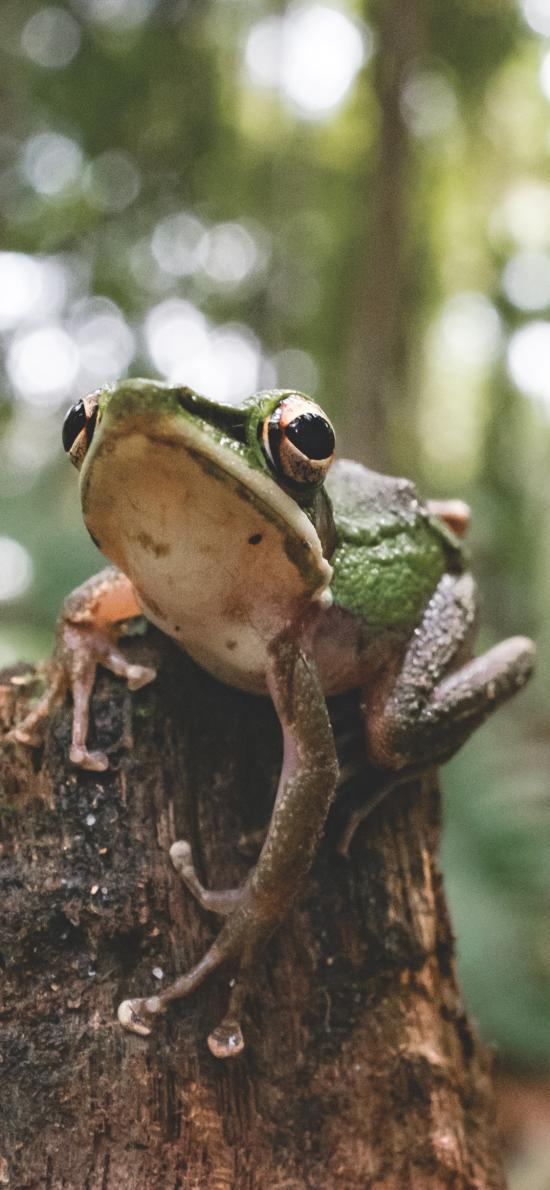 郊外 木桩 青蛙 树蛙