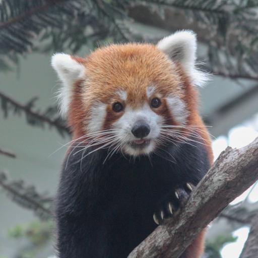 小熊猫 树枝 爪子 皮毛