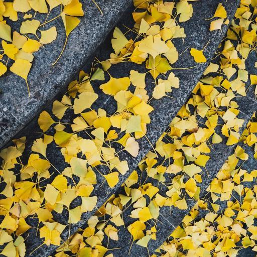 银杏叶 绿叶 阶梯 枯黄