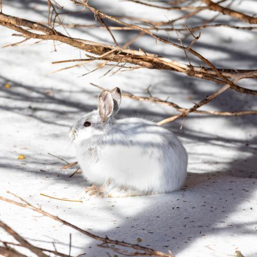 兔子 雪地 光影 野兔