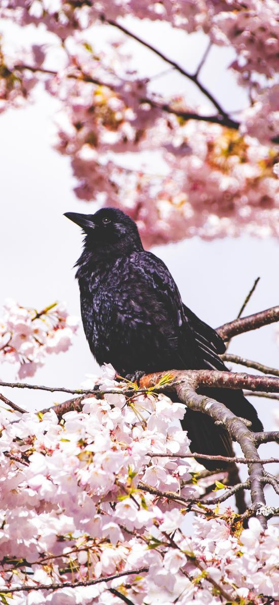 树木 鲜花 粉色 乌鸦