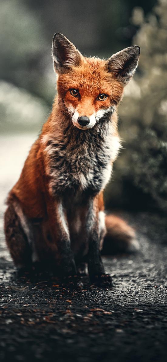 狐狸 皮毛 红狐 野外