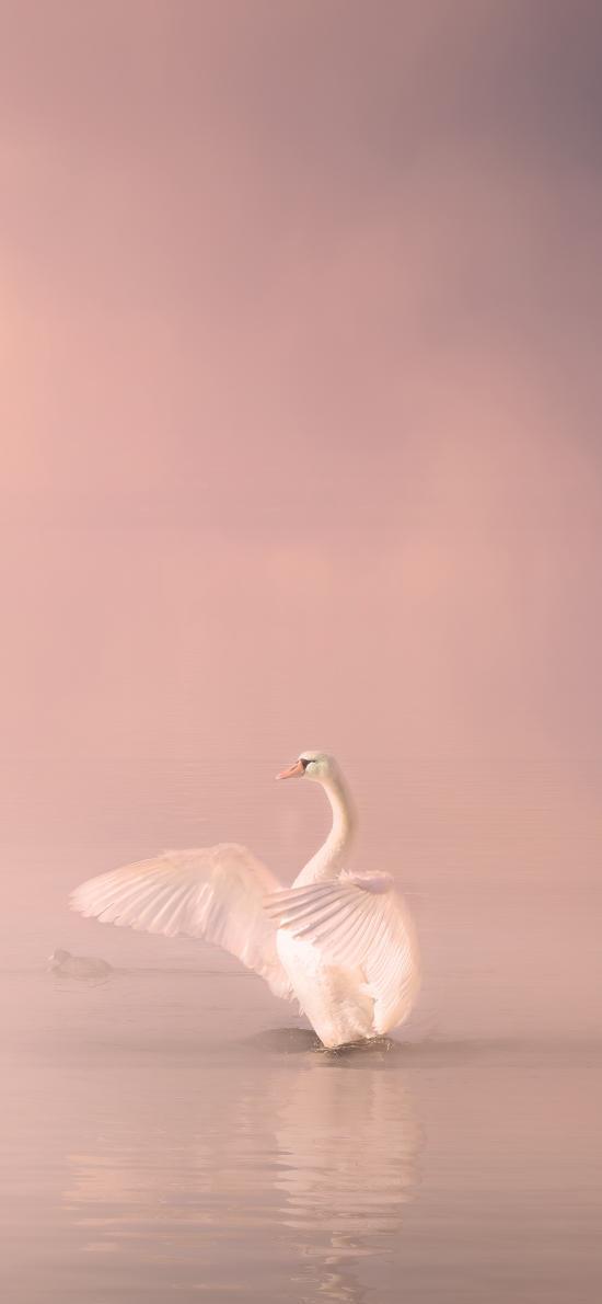 天鹅 翅膀 湖水 粉色 美丽