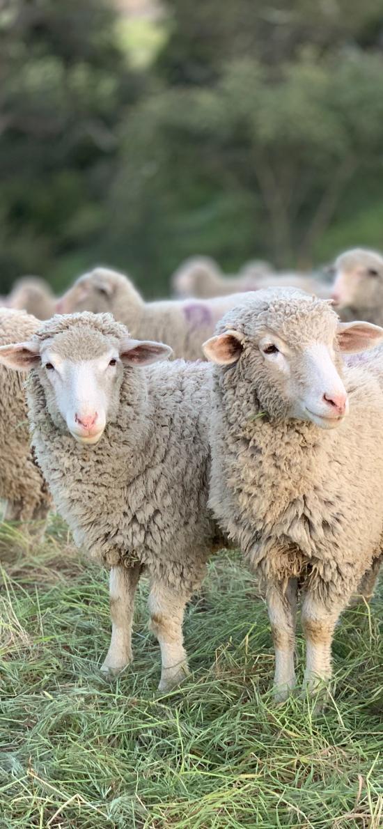 羊群 畜牧 牲畜 草地
