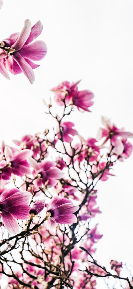 枝干 鲜花 辛夷花 紫木兰