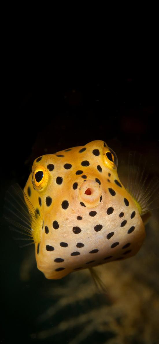 海鱼 观赏鱼 黄色盒子鱼 粒突箱鲀鱼