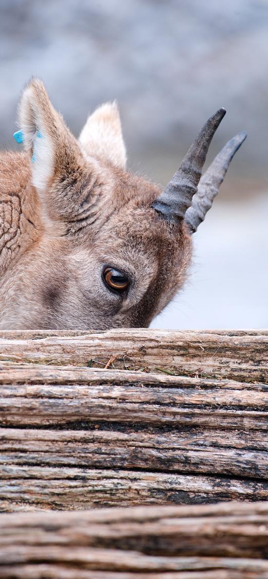 羚羊 羊角 树木 遮挡