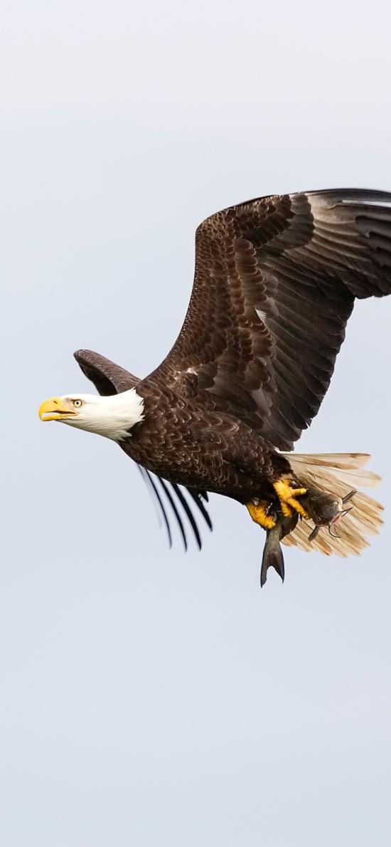 老鹰 飞翔 天空 展翅