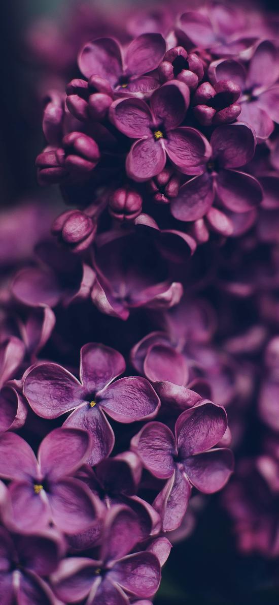 鲜花 绣球花 紫色 盛开