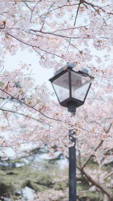 花季 路灯 盛开 树木 鲜花